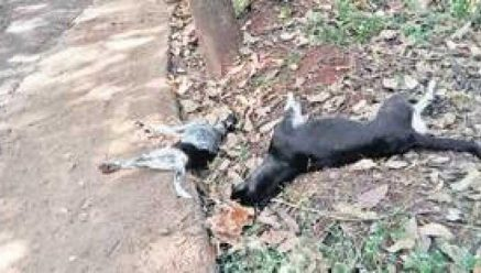 Stray dogs mauled a two-year-old child at Pant Balekundri | People of killing spree of Stray Dogs