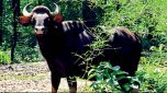 Gaur Bison dead as it was hit by a Running Train near Khanapur
