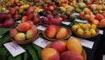 Belagavi hosts mango mela at Hulme Park, Club Road | Last Date June 6